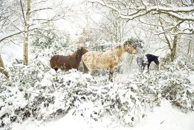 Appaloosa In Snow