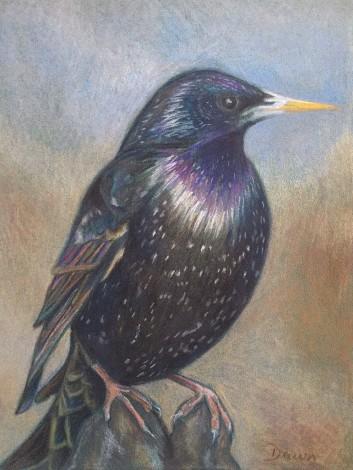 Starling drawing