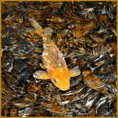 A goldfish in shallow water, photo