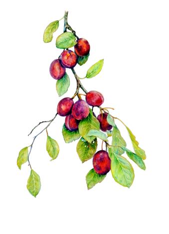 Botanical watercolour, illustration, artwork