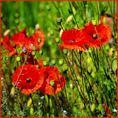 Poppies in a meadow, photo