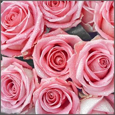 Closeup of pink roses, photo
