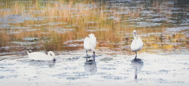 Swanning Around (unframed)