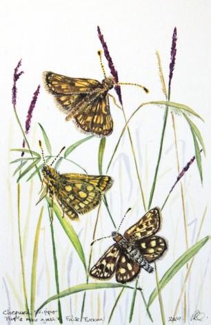 Chequered Skipper Butterfly, rare wildlife