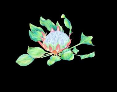 King Protea Flower on Black