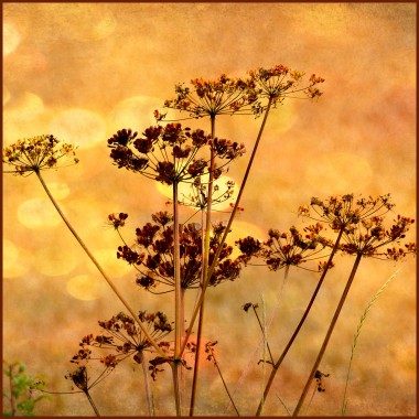 dried plants against a golden evening sky, photo