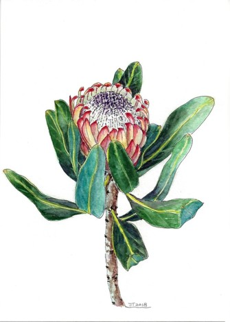 Protea,watercolor, flowers,spring,