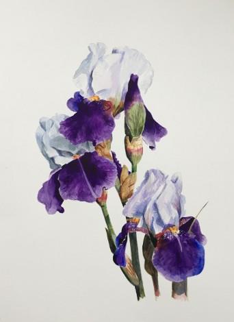 Purple and White Iris