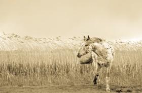 Appaloosa In Wind