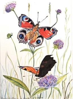 Peacock Butterfly on meadow flower
