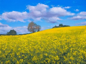Rapeseed fields, Rapeseed